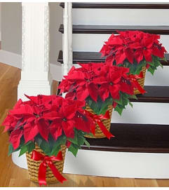 Poinsettia Package - Three