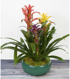 Decorative Bromeliad Plant