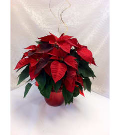 Shining Poinsettia