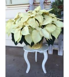 Grand Holiday Poinsettia