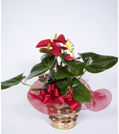 Decorative Anthurium Plant