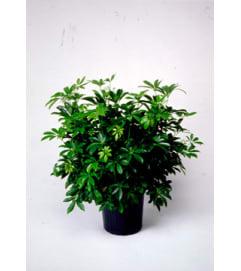 Sweet Schefflera Plant