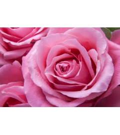 Dozen Pink Long Stemmed Roses