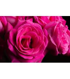 1 Dozen Hot Pink Long Stemmed Roses