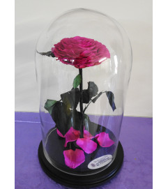 A beautiful preserved pink rose in a cloche glass with a black wo