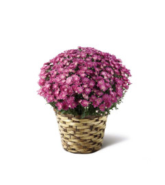 The FTD® Devotion™ Pink Mum