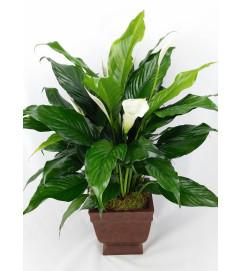 Plantastic! Peace Lily