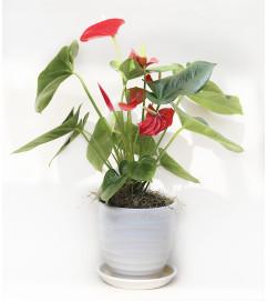 Anthurium Planter