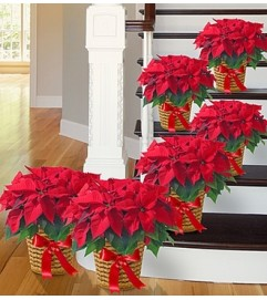 Poinsettia Package - Six