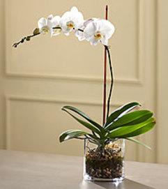WHITE ORCHID PLANT