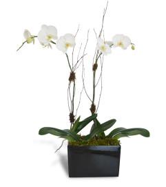 Alabaster Orchids