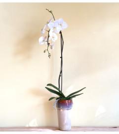 Single Spike White Phalaenopsis Orchid Plant