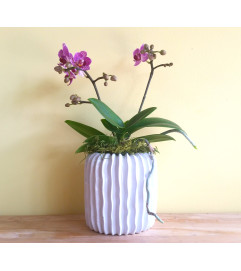 Mini Double Spike Phalaenopsis Orchid Plant