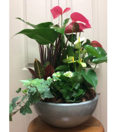 Med antherium planter