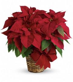 Red Poinsettia