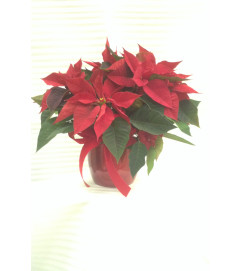 Festive Christmas Red Poinsettia