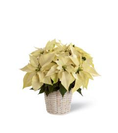 The FTD® White Poinsettia Basket (Small)