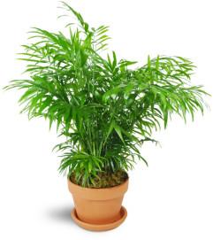 Petite Palm Plant
