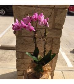 Exqusite Orchid