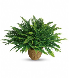 Teleflora's Heartwarming Thoughts Boston Fern