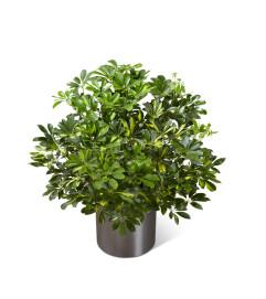 The FTD® Schefflera Arboricola