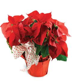 Classic Red Poinsettia