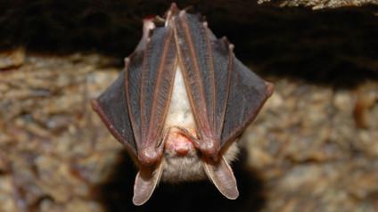 Bats Mammals Animals Eden Channel