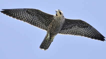 Image result for peregrine falcon wings spread front and back