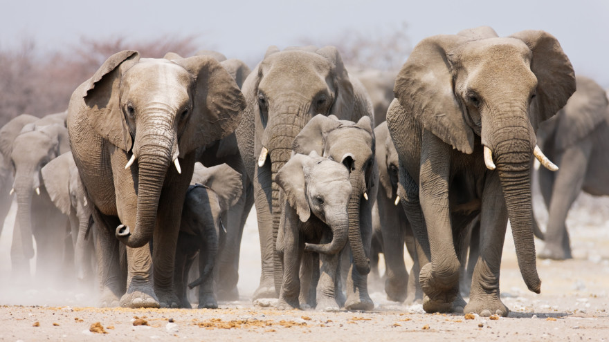 Are Elephants Mammals >> Elephants Mammals Animals Eden Channel