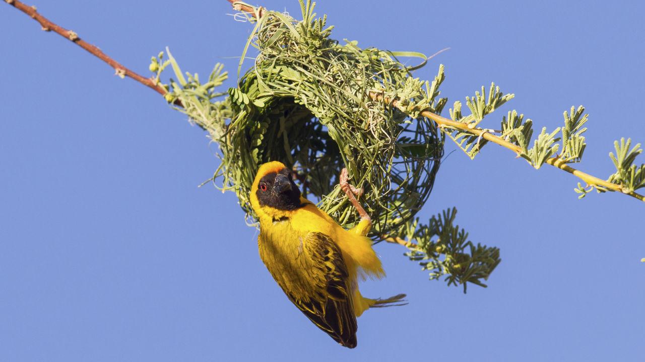 Weaver Birds Birds Animals Eden Channel