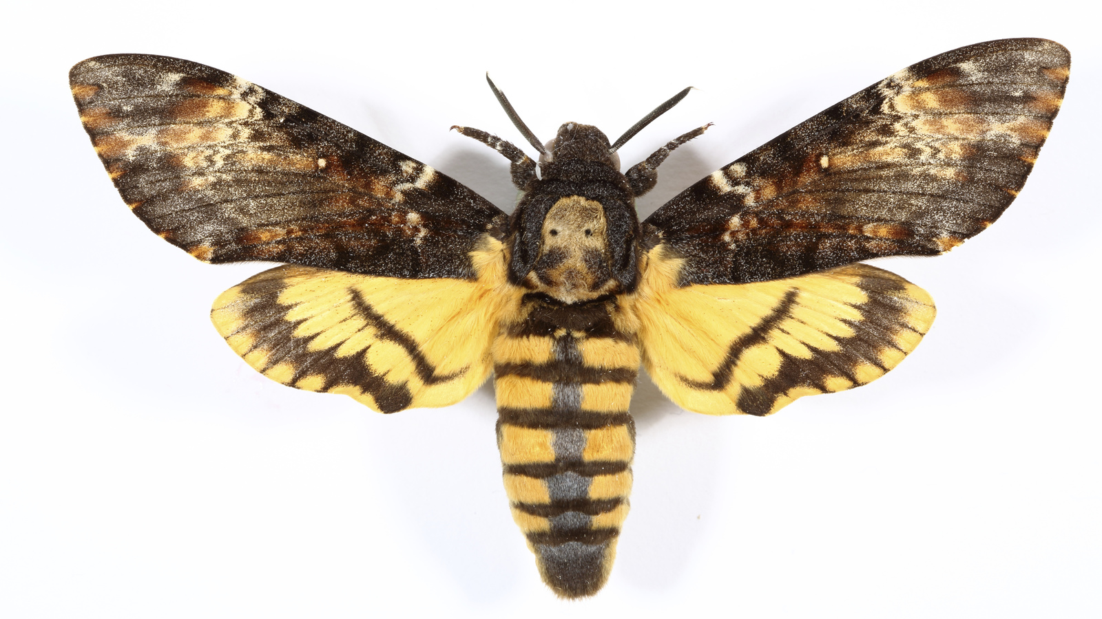 Death S Head Hawkmoth Insects Invertebrates Animals