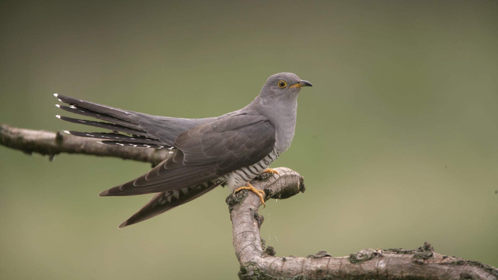 Nest of the cuckoo bird music vid 2