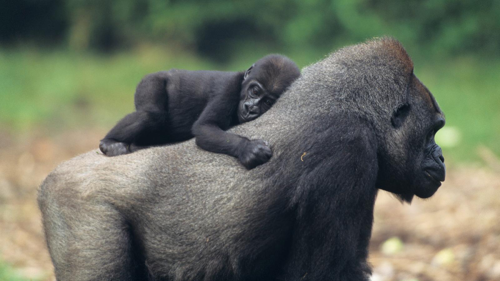 Gorilla | Mammals | Animals | Eden Channel