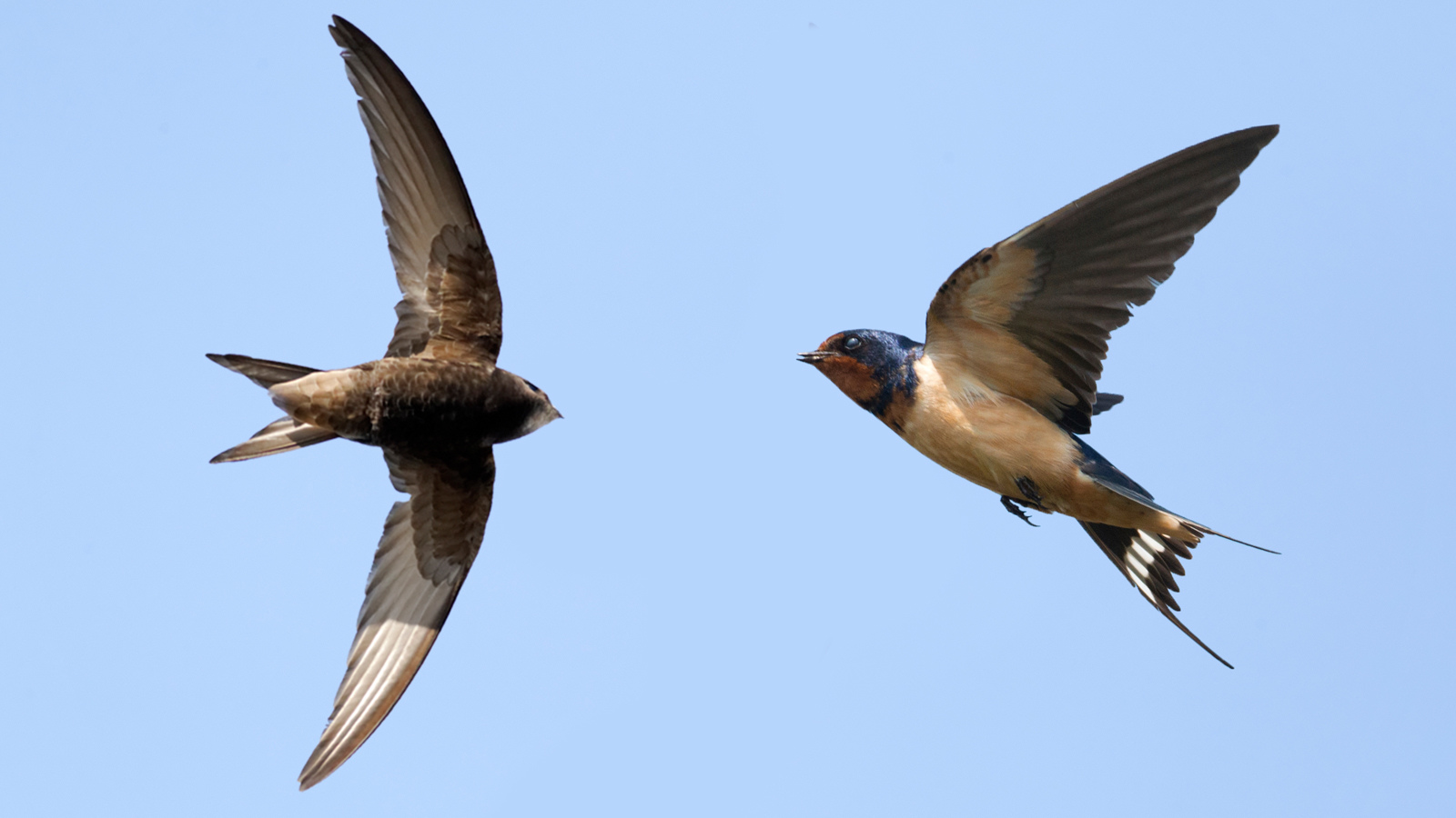 What distinguishes swifts from swallows: the main characteristics 97