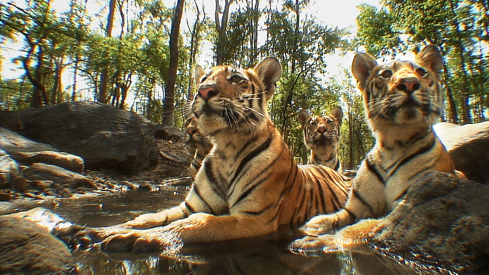 Tiger Spy In The Jungle Eden Channel