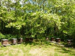 Ruches entrain de produire du miel d'acacia