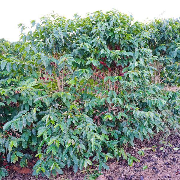 coffee-plant_bnuqwj