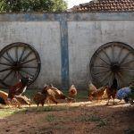 chicken-at-farm_y9gbhx