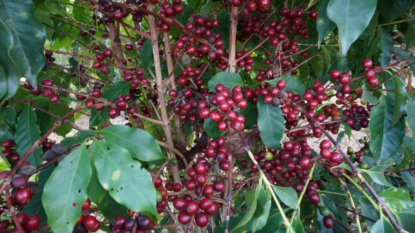 ripe-cherries-coffee-tree_uj5s2d