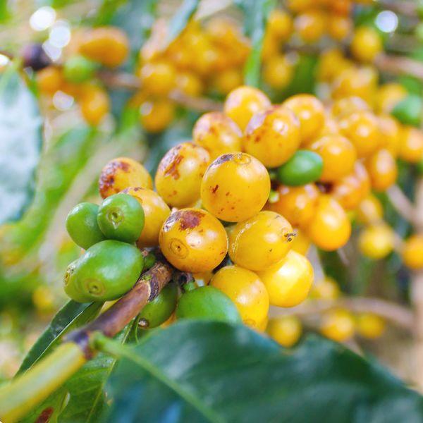 instagram-yellow-coffee-cherries_yferg8