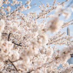Washington DC Blossoms by Bike Tour