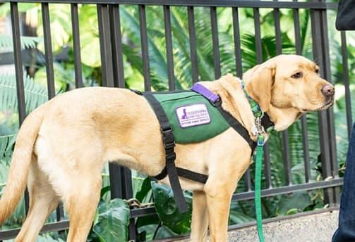 Retriever-Diabetes-Alert-Dog