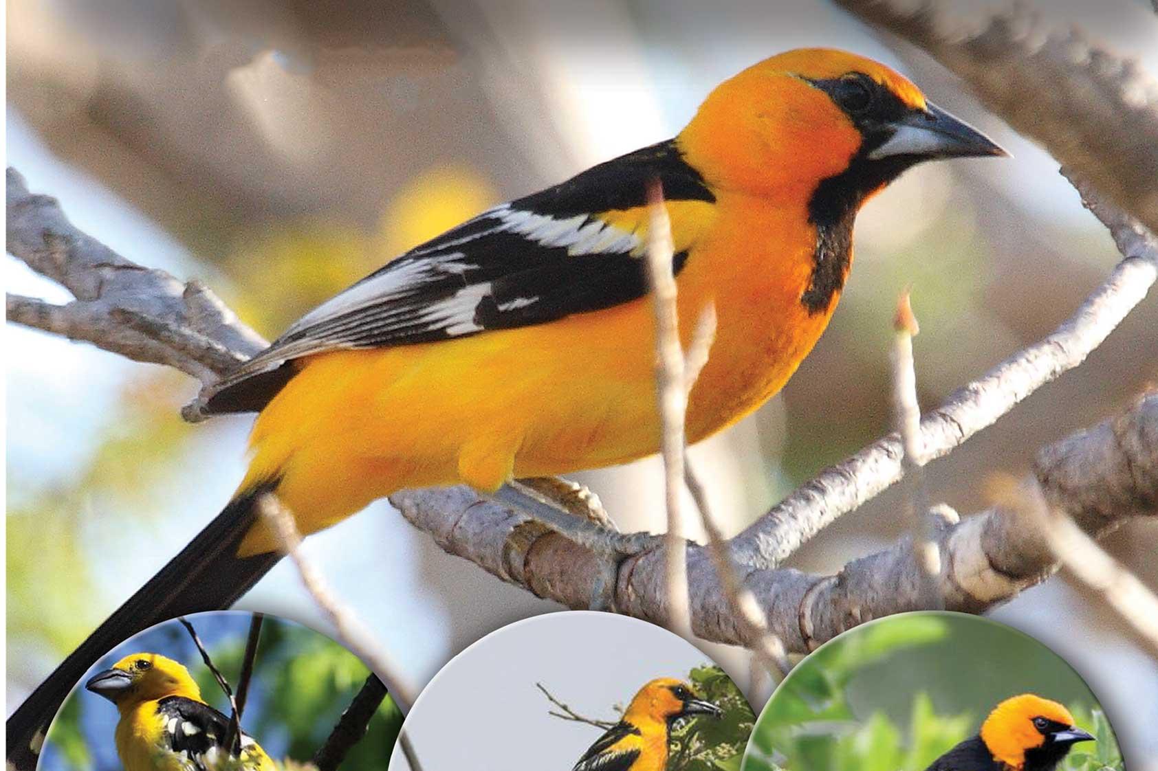 Descubren primer especie de ave tóxica reportada para Centroamérica