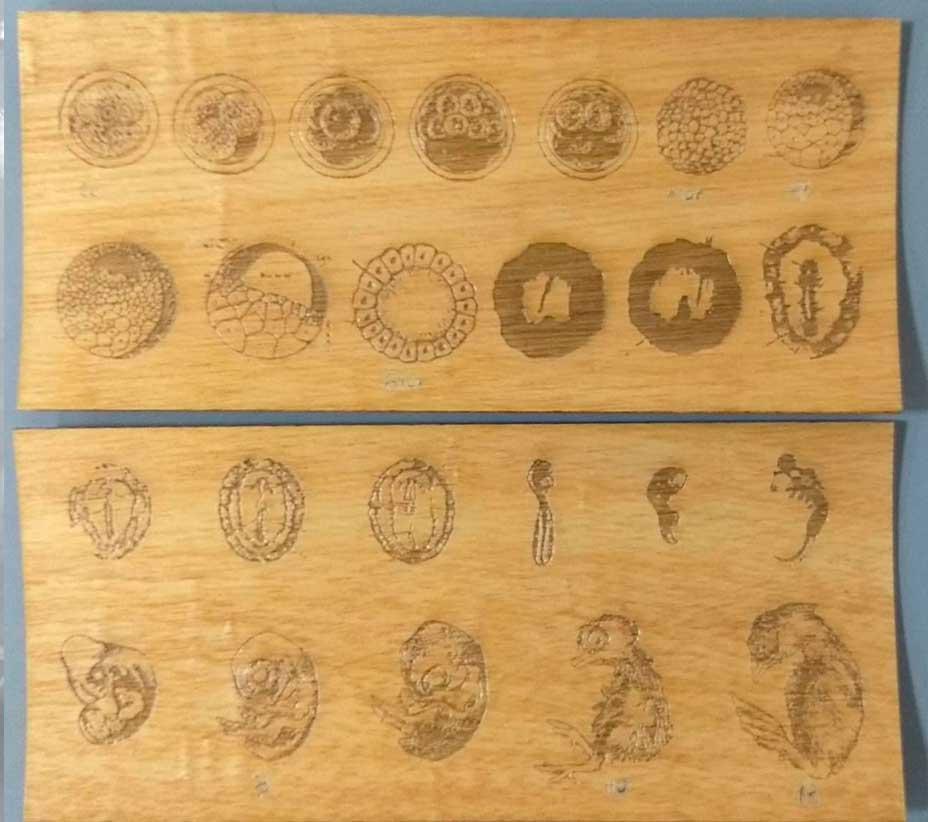 Embriología de cordados: Un material didáctico creado por estudiantes en el D-Hive