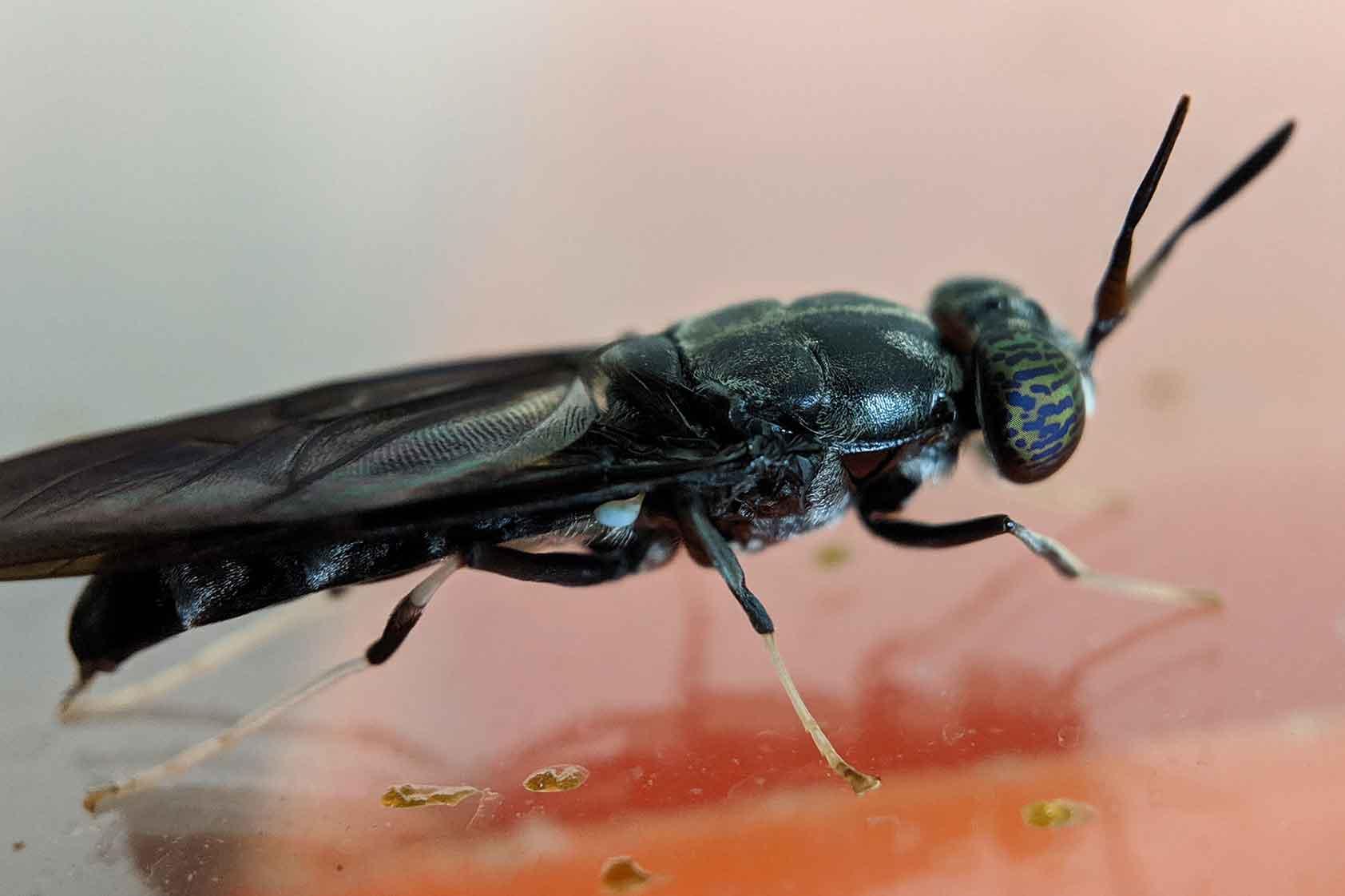 Nüfood: el proyecto sobre la mosca soldado que aprendió de sus fracasos