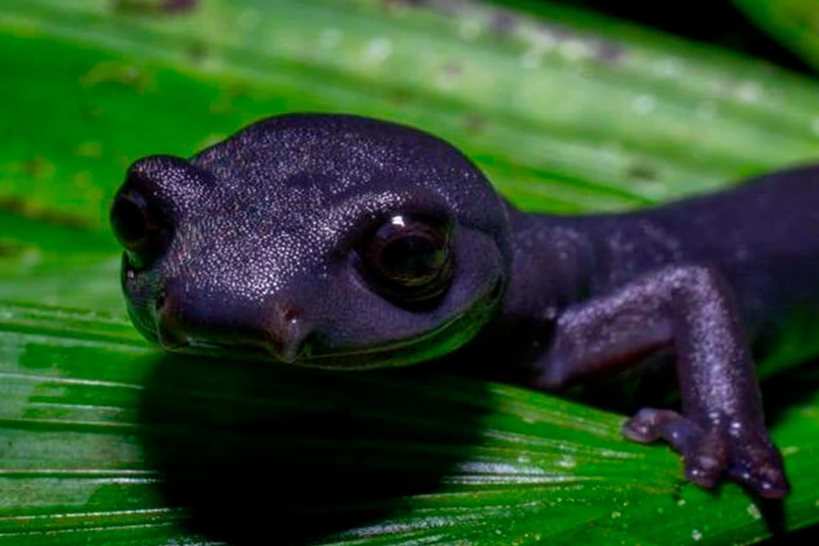 10 datos de cómo descubrimos y reconocimos la salamandra Bolitoglossa Qeqom