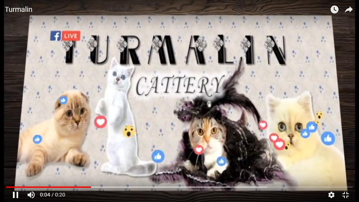 Відеовізитівка на замовлення. Приклад TurmalinCattery – Котята породы Шотландская вислоухая