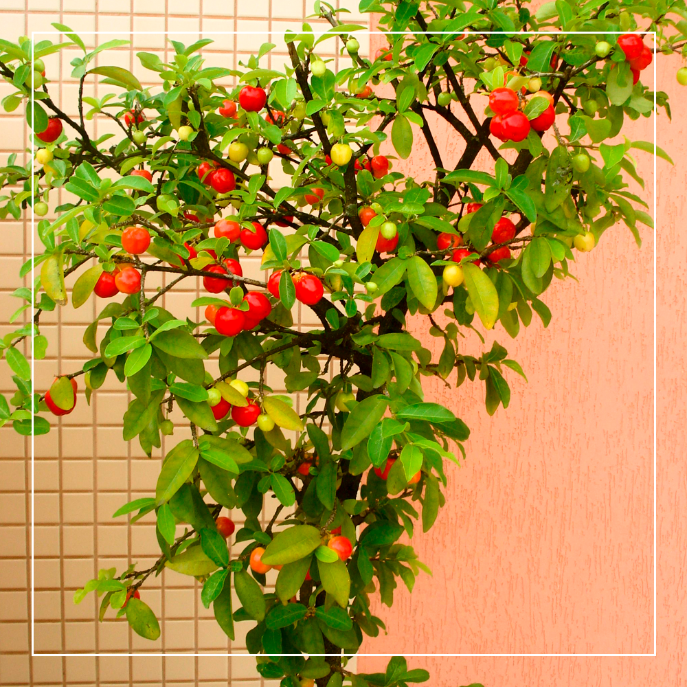 Árvores Frutíferas para sua casa ou apartamento