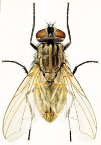 Common housefly control - Cardiff South Wales