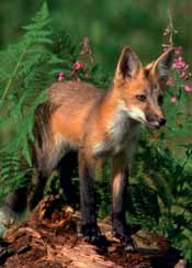 Vale Pest Control offer fox control, using trapping methods